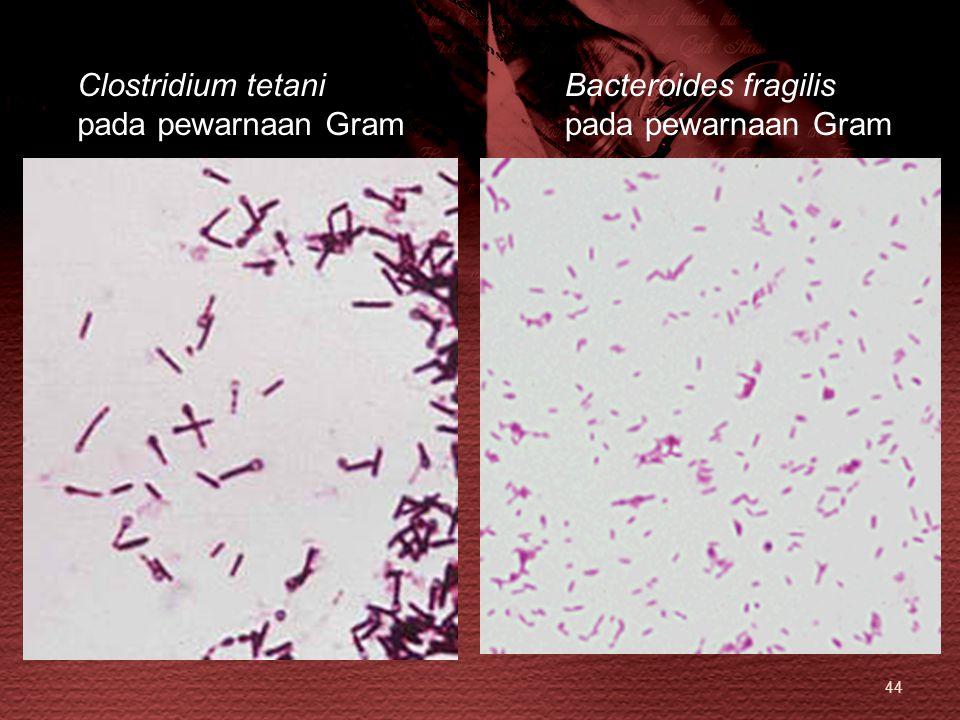 Clostridium tetani pada pewarnaan Gram Bacteroides fragilis