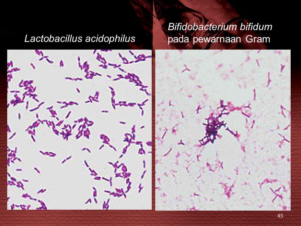 Bifidobacterium bifidum pada pewarnaan Gram Lactobacillus acidophilus