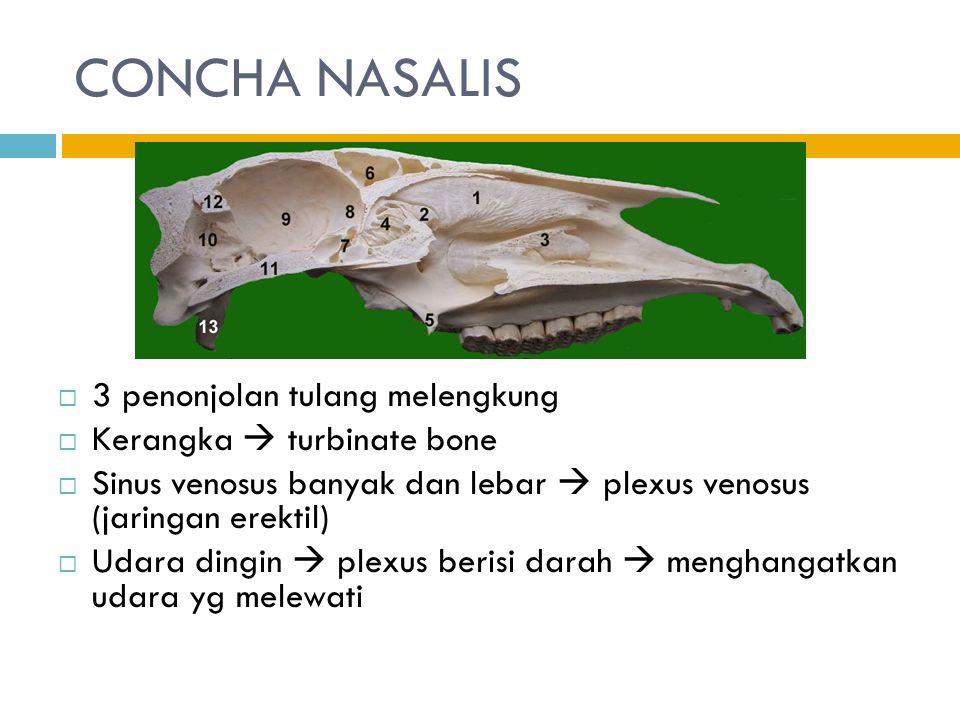 CONCHA NASALIS 3 penonjolan tulang melengkung