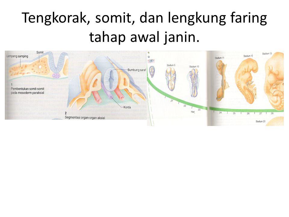 Tengkorak, somit, dan lengkung faring tahap awal janin.