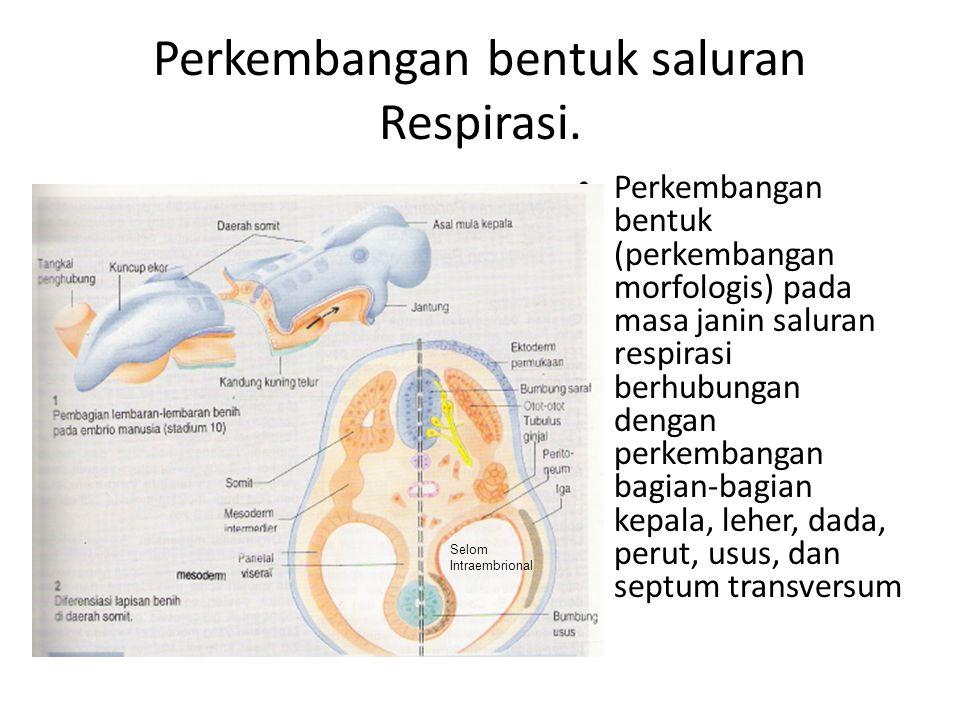 Perkembangan bentuk saluran Respirasi.