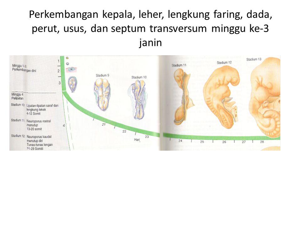 Perkembangan kepala, leher, lengkung faring, dada, perut, usus, dan septum transversum minggu ke-3 janin
