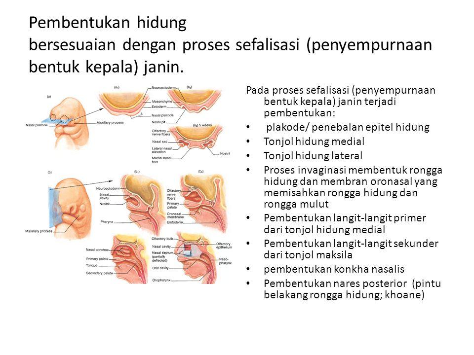 Pembentukan hidung bersesuaian dengan proses sefalisasi (penyempurnaan bentuk kepala) janin.