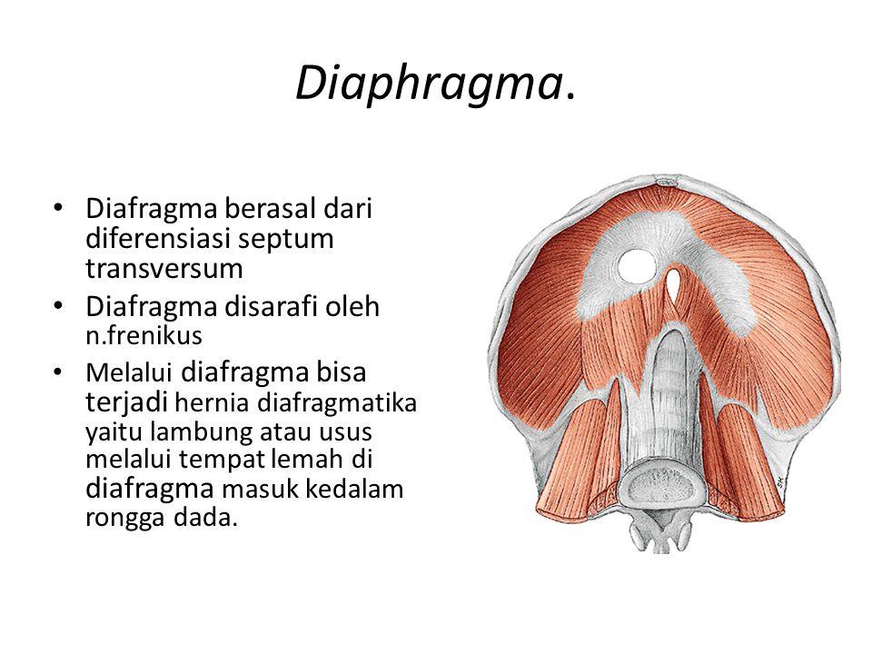 Diaphragma. Diafragma berasal dari diferensiasi septum transversum