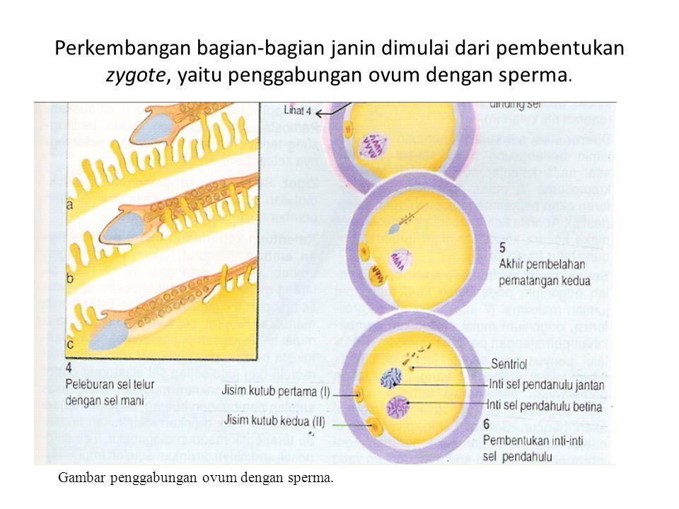 Perkembangan bagian-bagian janin dimulai dari pembentukan zygote, yaitu penggabungan ovum dengan sperma.