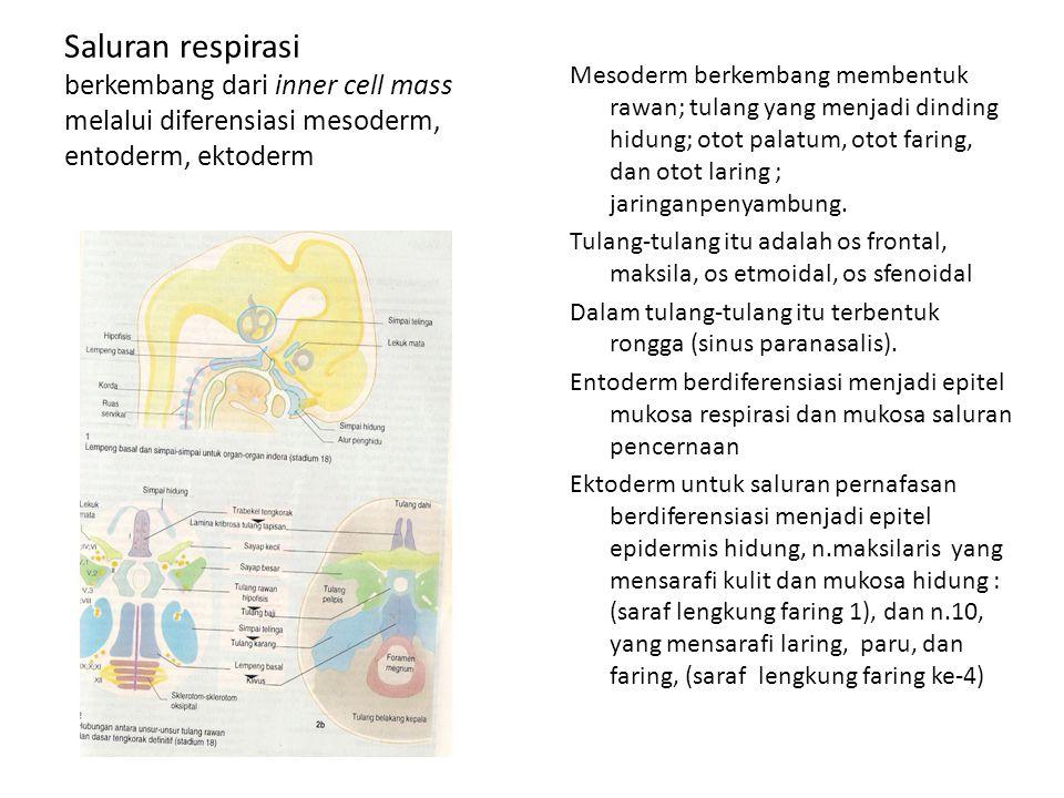 Saluran respirasi berkembang dari inner cell mass melalui diferensiasi mesoderm, entoderm, ektoderm