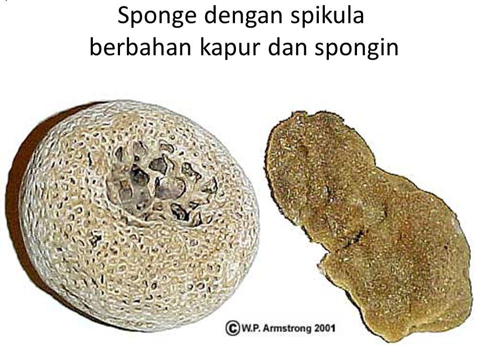 Sponge dengan spikula berbahan kapur dan spongin