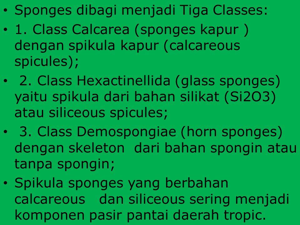 Sponges dibagi menjadi Tiga Classes: