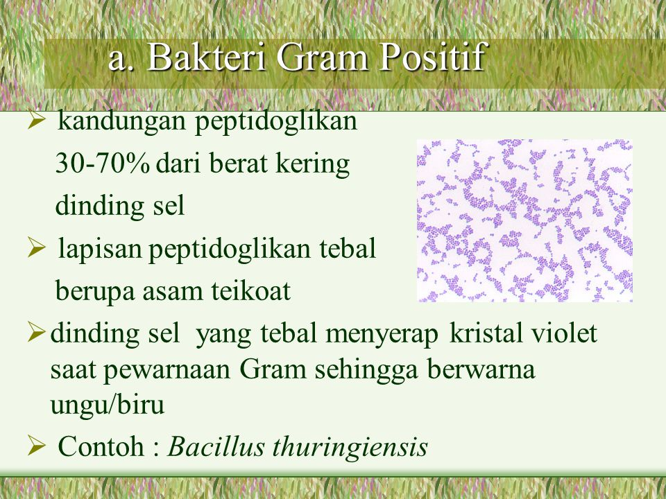 a. Bakteri Gram Positif kandungan peptidoglikan