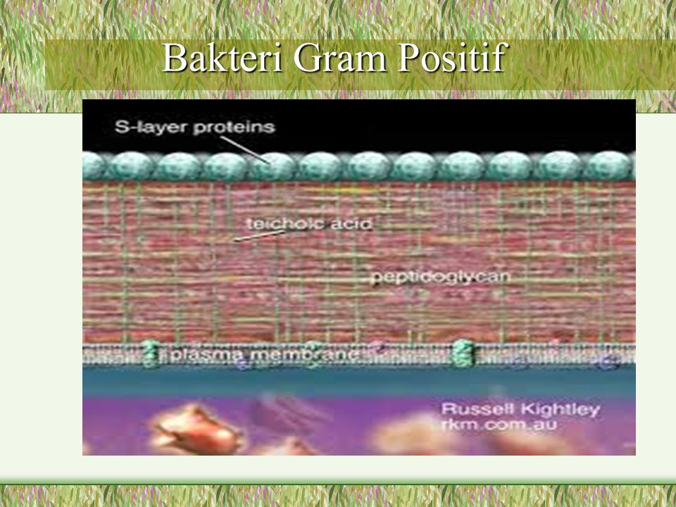 Bakteri Gram Positif