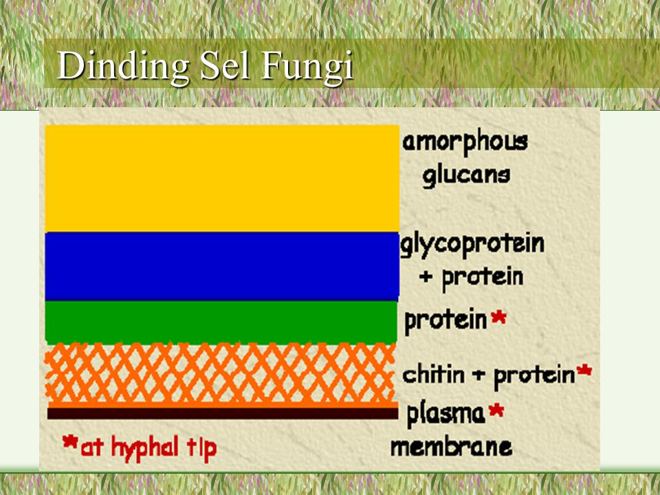 Dinding Sel Fungi