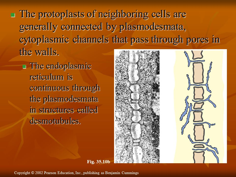 The protoplasts of neighboring cells are generally connected by plasmodesmata, cytoplasmic channels that pass through pores in the walls.
