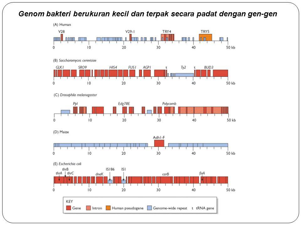 Genom bakteri berukuran kecil dan terpak secara padat dengan gen-gen