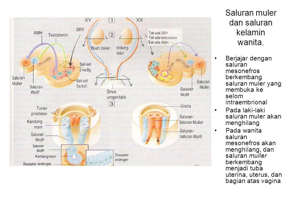 Saluran muler dan saluran kelamin wanita.
