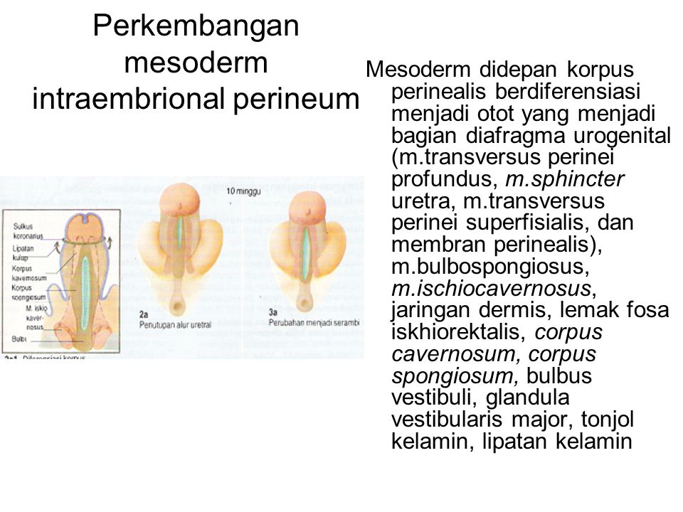 Perkembangan mesoderm intraembrional perineum