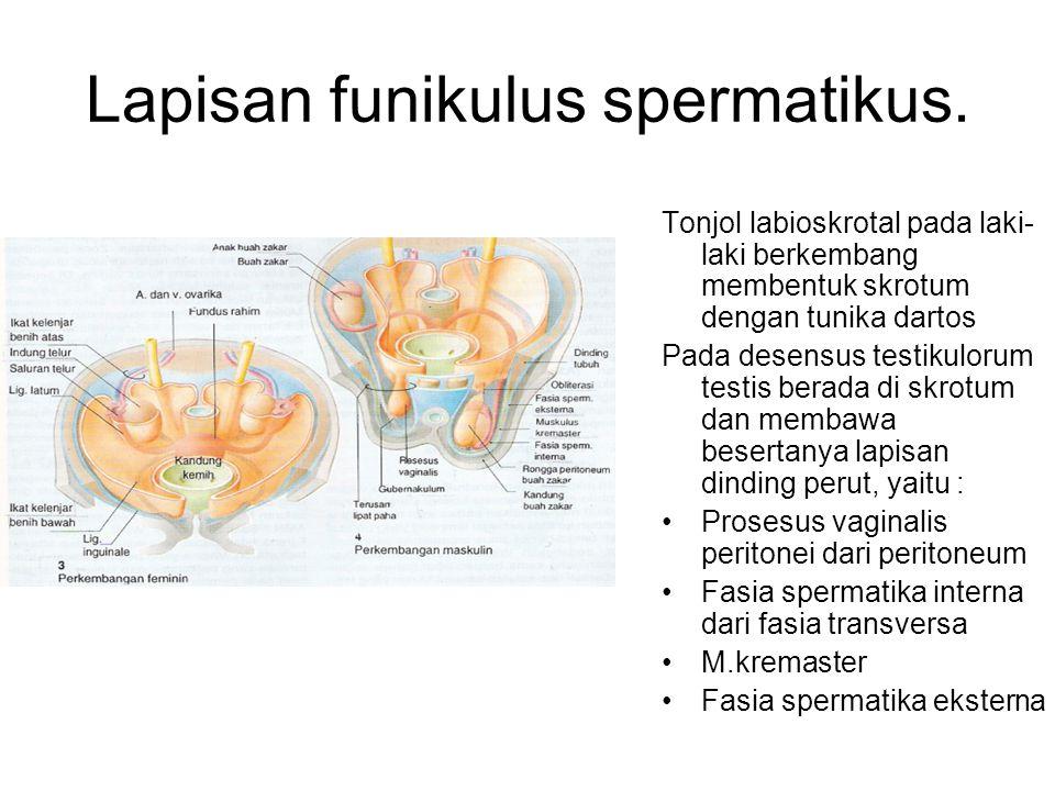 Lapisan funikulus spermatikus.