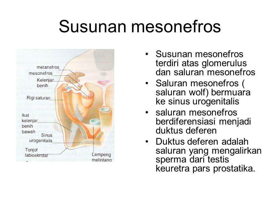 Susunan mesonefros Susunan mesonefros terdiri atas glomerulus dan saluran mesonefros.