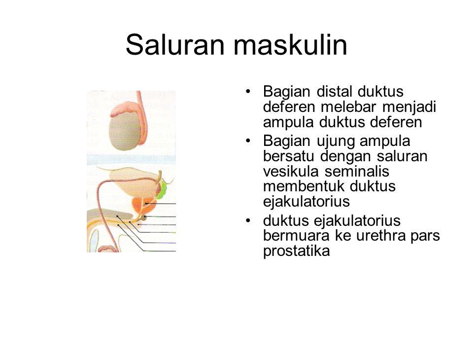 Saluran maskulin Bagian distal duktus deferen melebar menjadi ampula duktus deferen.