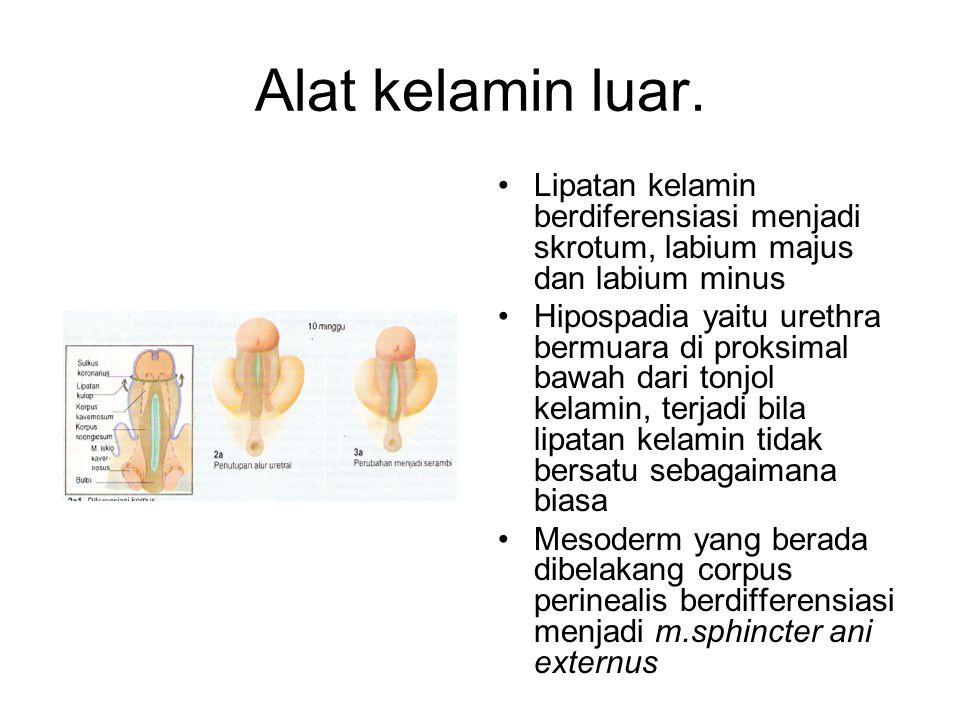 Alat kelamin luar. Lipatan kelamin berdiferensiasi menjadi skrotum, labium majus dan labium minus.