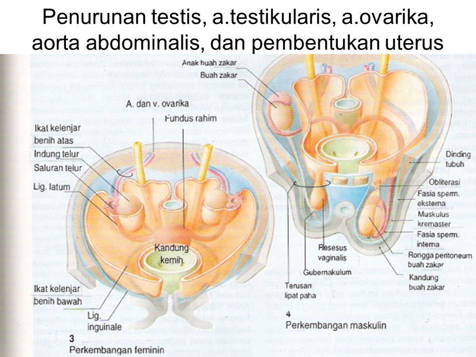 Penurunan testis, a. testikularis, a