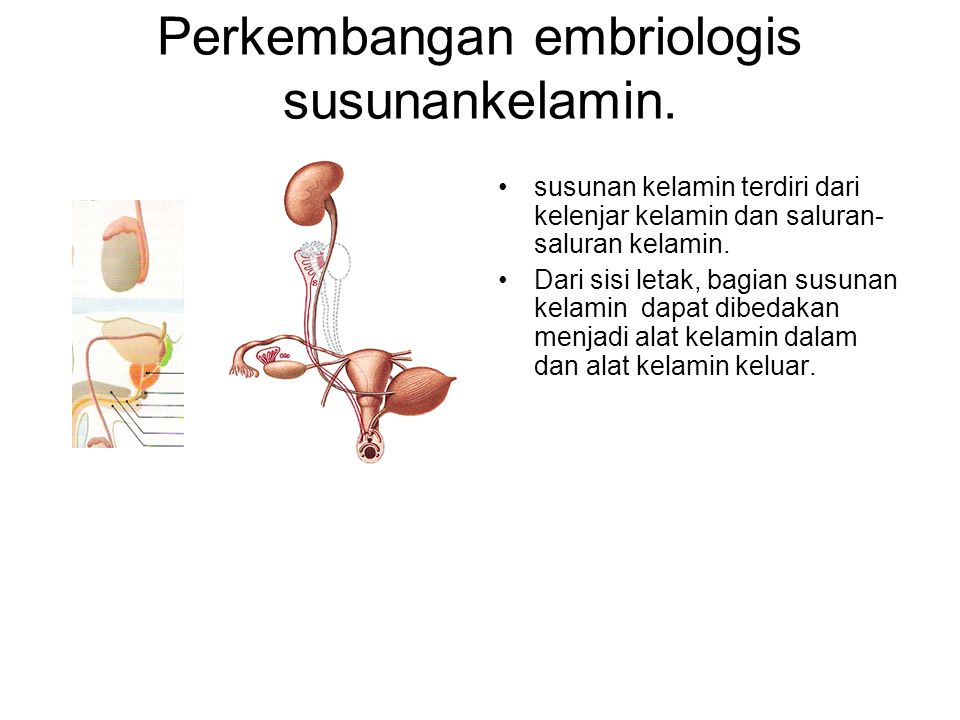 Perkembangan embriologis susunankelamin.