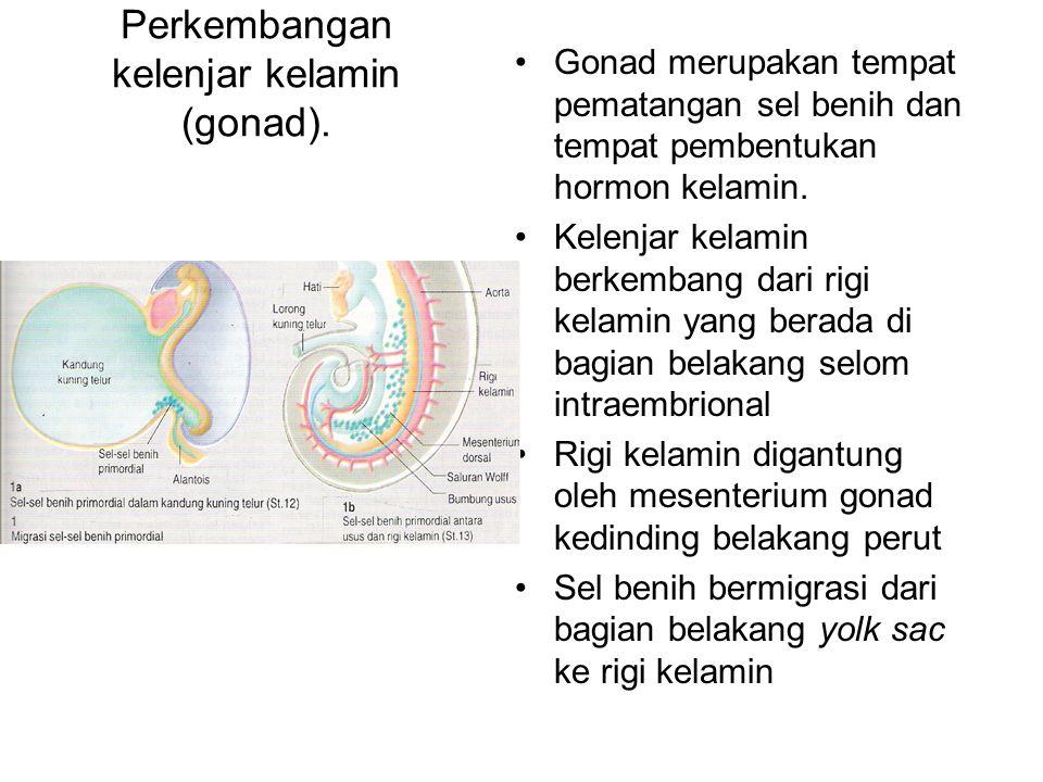 Perkembangan kelenjar kelamin (gonad).