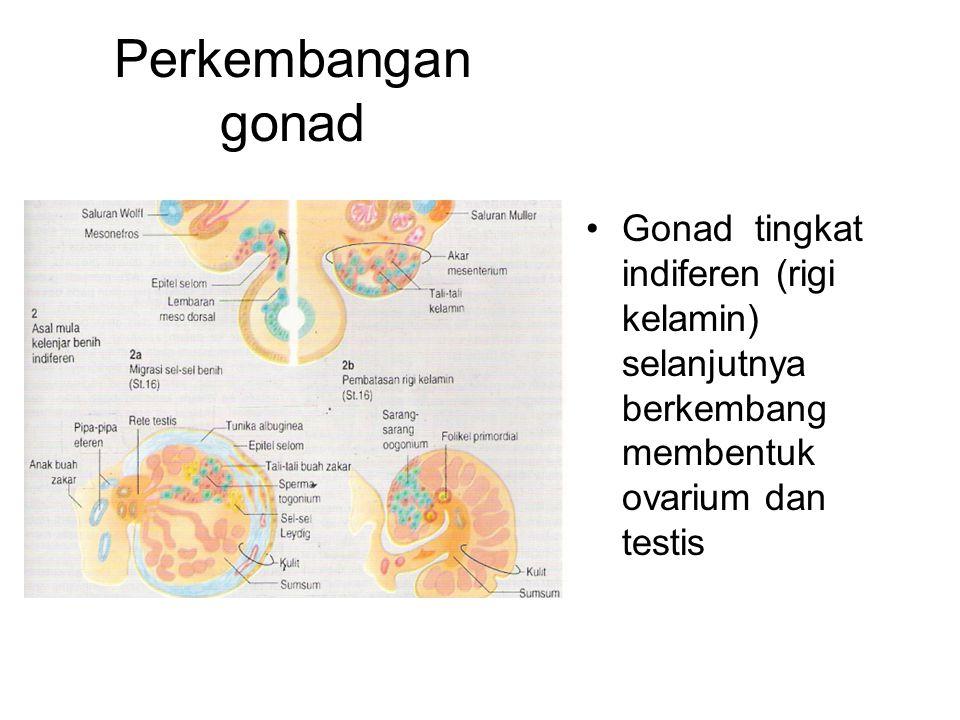 Perkembangan gonad Gonad tingkat indiferen (rigi kelamin) selanjutnya berkembang membentuk ovarium dan testis.
