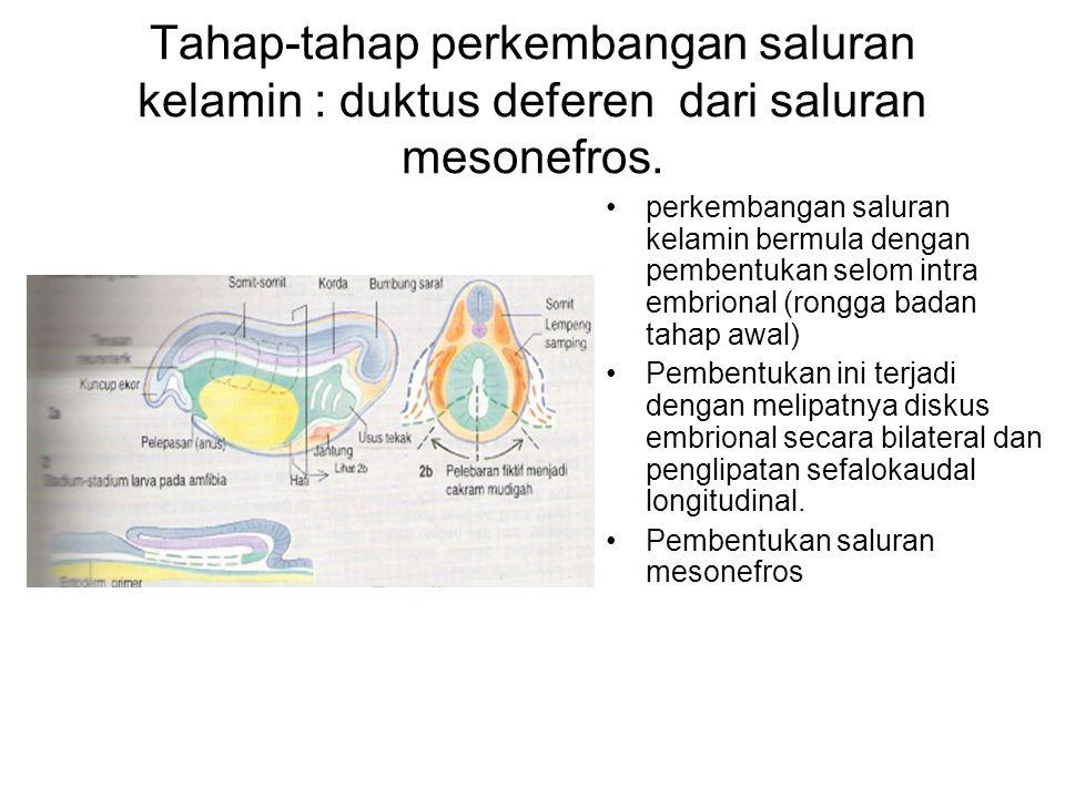 Tahap-tahap perkembangan saluran kelamin : duktus deferen dari saluran mesonefros.