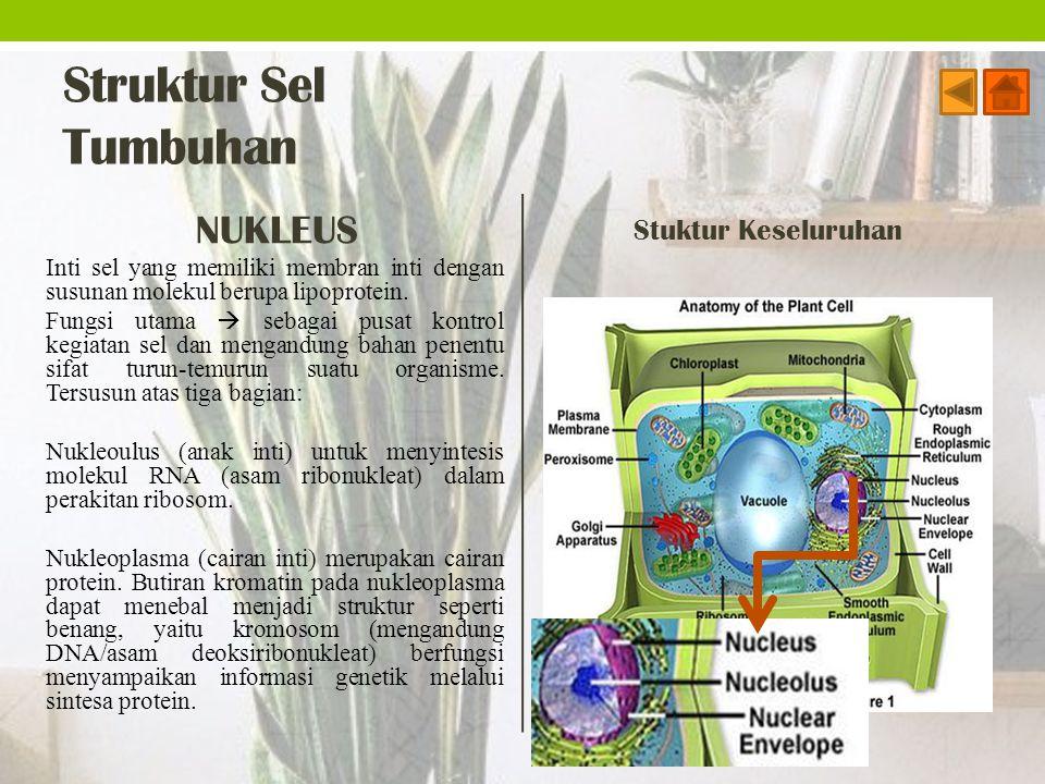 Struktur Sel Tumbuhan NUKLEUS Stuktur Keseluruhan