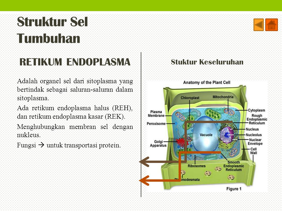 Struktur Sel Tumbuhan RETIKUM ENDOPLASMA Stuktur Keseluruhan