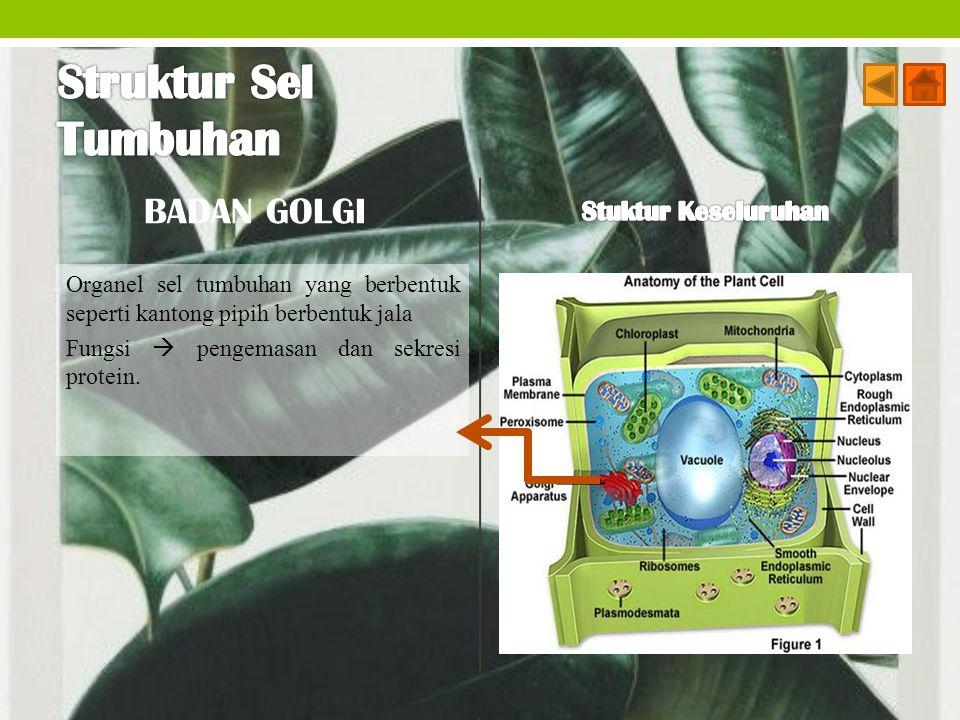Struktur Sel Tumbuhan BADAN GOLGI Stuktur Keseluruhan