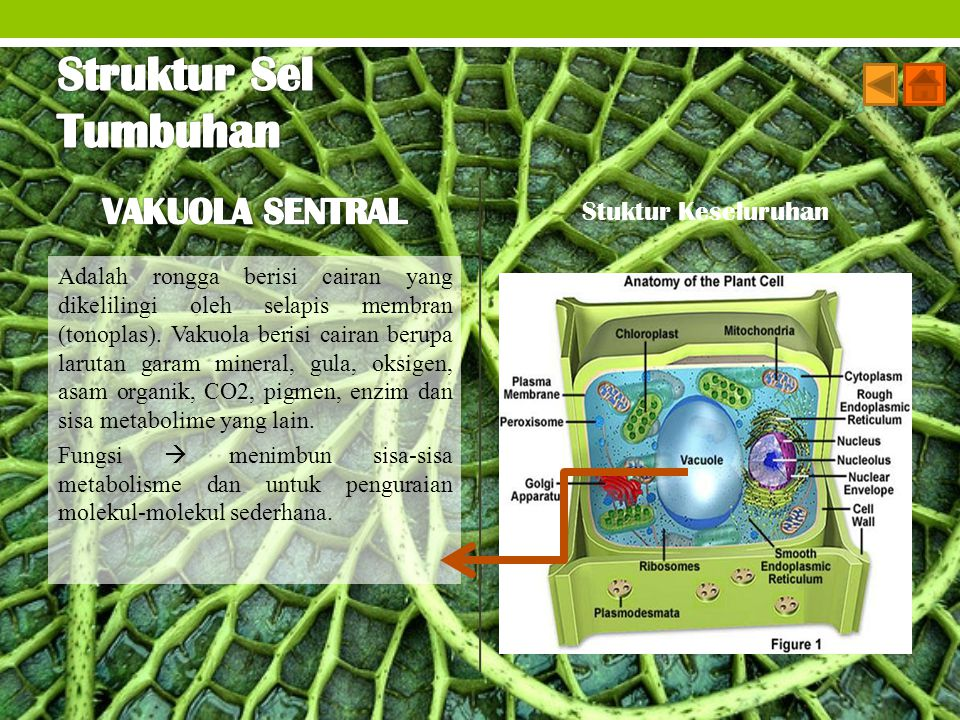 Struktur Sel Tumbuhan VAKUOLA SENTRAL Stuktur Keseluruhan