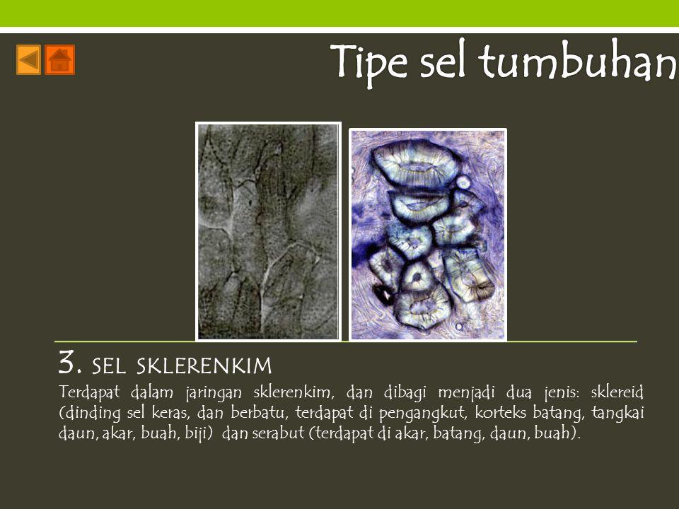 Tipe sel tumbuhan 3. SEL SKLERENKIM