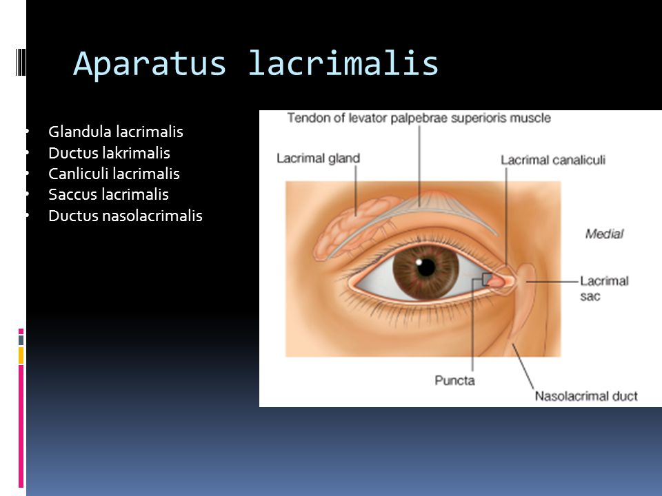 Aparatus lacrimalis Glandula lacrimalis Ductus lakrimalis