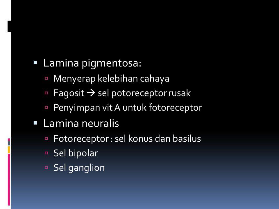 Lamina pigmentosa: Lamina neuralis Menyerap kelebihan cahaya