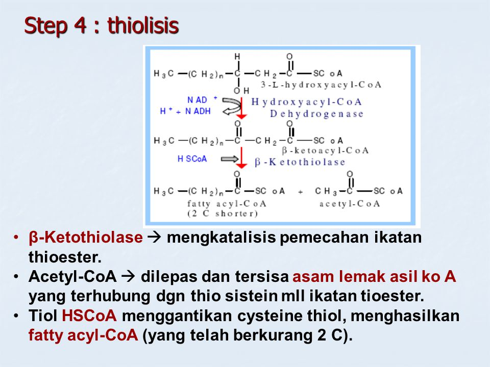 Step 4 : thiolisis β-Ketothiolase  mengkatalisis pemecahan ikatan thioester.