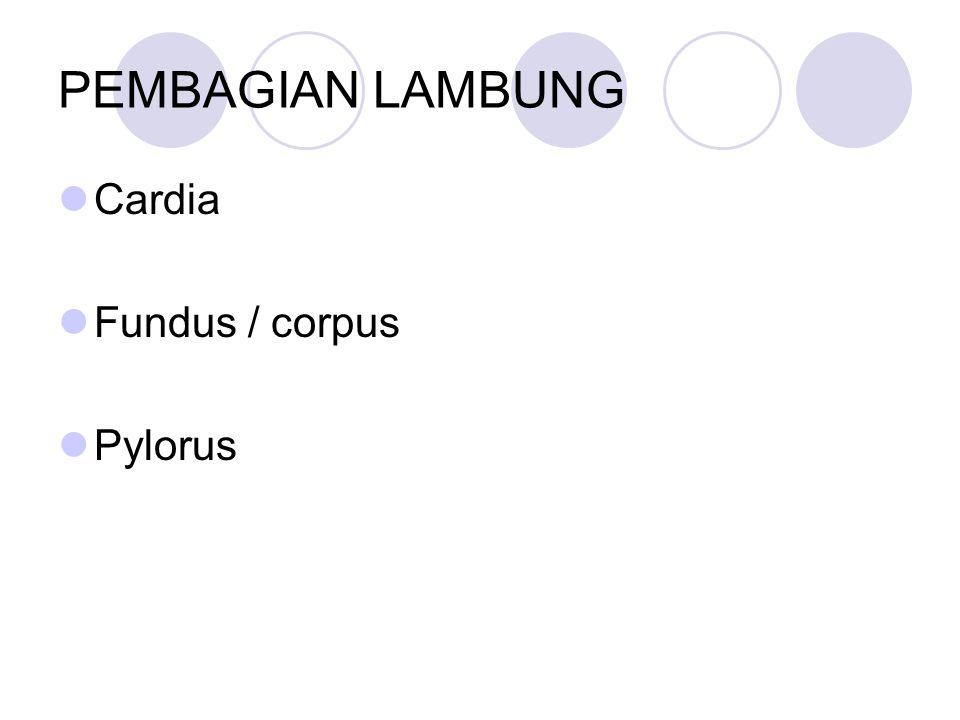 PEMBAGIAN LAMBUNG Cardia Fundus / corpus Pylorus