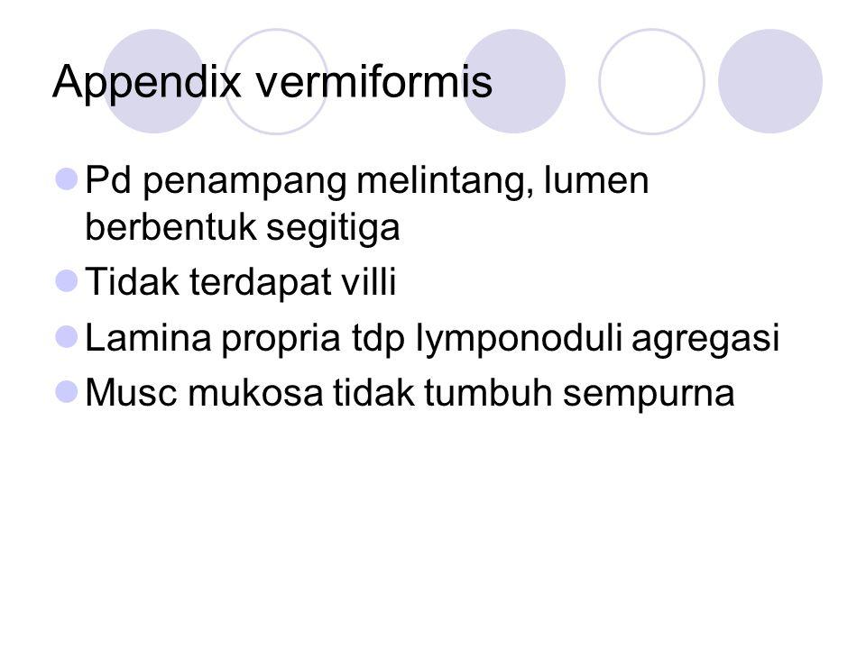 Appendix vermiformis Pd penampang melintang, lumen berbentuk segitiga