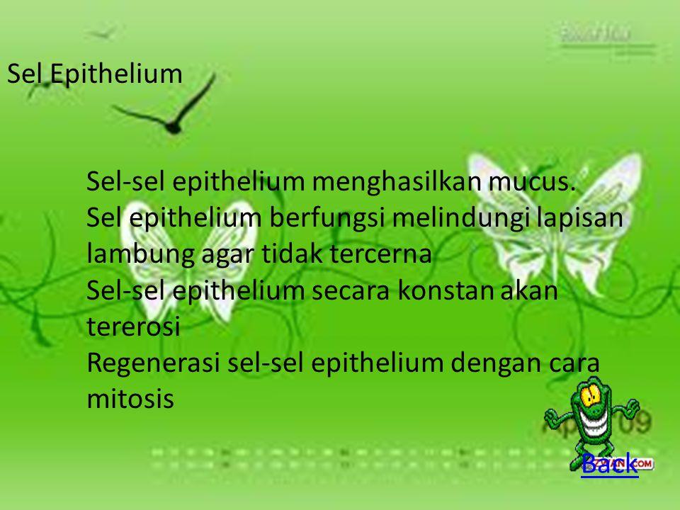 Sel Epithelium Sel-sel epithelium menghasilkan mucus. Sel epithelium berfungsi melindungi lapisan lambung agar tidak tercerna.