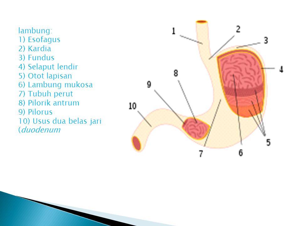 lambung: 1) Esofagus 2) Kardia 3) Fundus 4) Selaput lendir 5) Otot lapisan 6) Lambung mukosa 7) Tubuh perut 8) Pilorik antrum 9) Pilorus 10) Usus dua belas jari (duodenum
