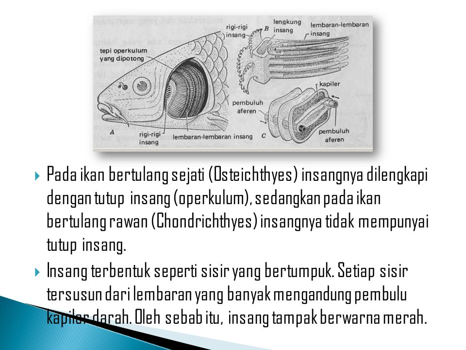Pada ikan bertulang sejati (Osteichthyes) insangnya dilengkapi dengan tutup insang (operkulum), sedangkan pada ikan bertulang rawan (Chondrichthyes) insangnya tidak mempunyai tutup insang.