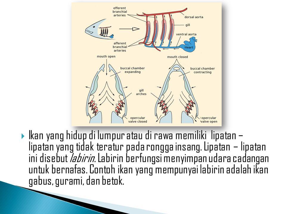 Ikan yang hidup di lumpur atau di rawa memiliki lipatan – lipatan yang tidak teratur pada rongga insang.