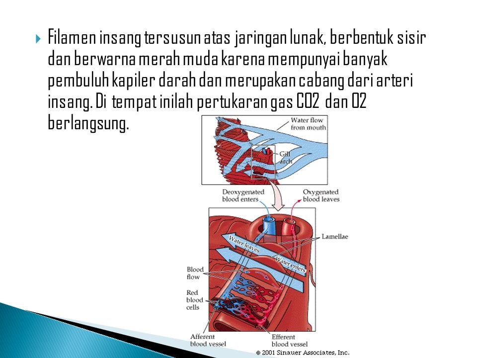 Filamen insang tersusun atas jaringan lunak, berbentuk sisir dan berwarna merah muda karena mempunyai banyak pembuluh kapiler darah dan merupakan cabang dari arteri insang.