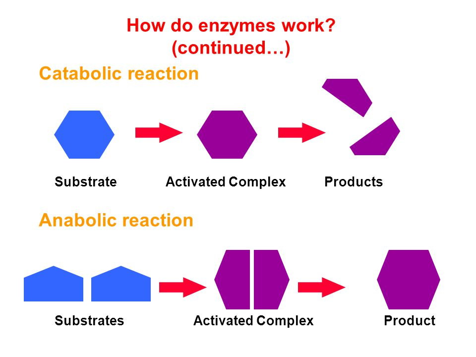 How do enzymes work (continued…)