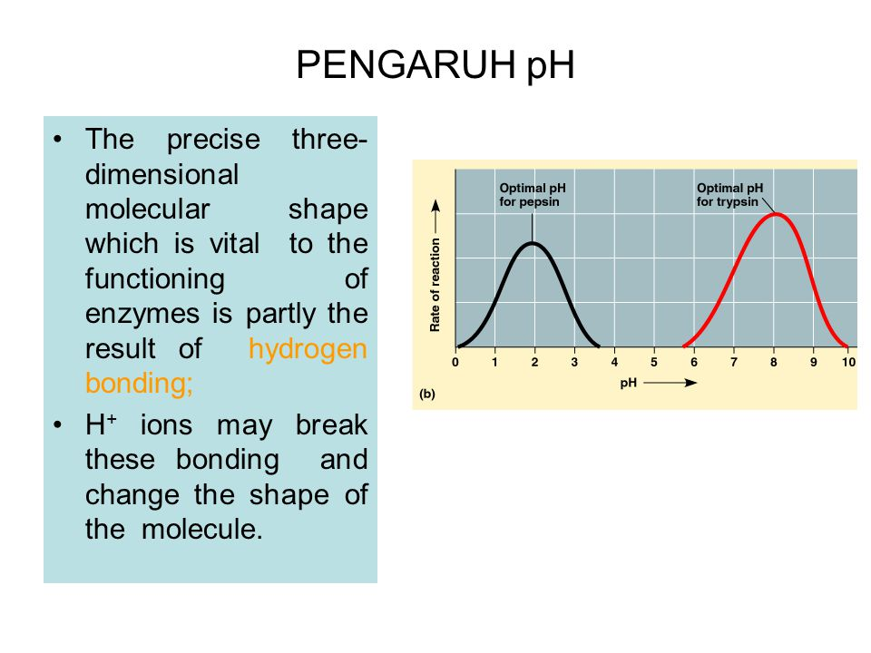 PENGARUH pH The precise three-dimensional molecular shape which is vital to the functioning of enzymes is partly the result of hydrogen bonding;