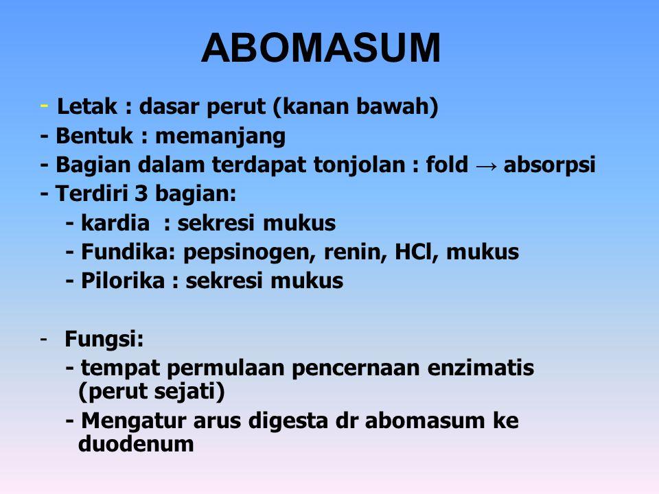 ABOMASUM - Letak : dasar perut (kanan bawah) - Bentuk : memanjang