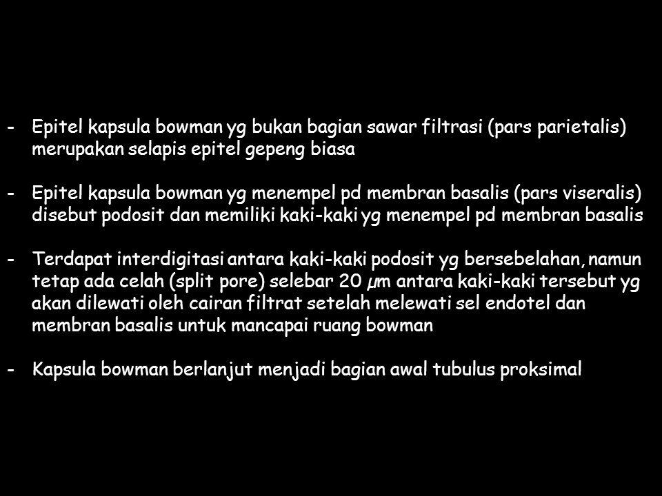 Epitel kapsula bowman yg bukan bagian sawar filtrasi (pars parietalis)
