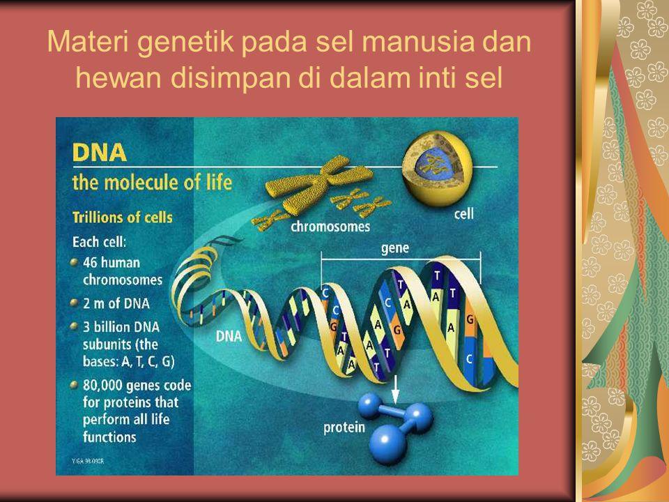 Materi genetik pada sel manusia dan hewan disimpan di dalam inti sel