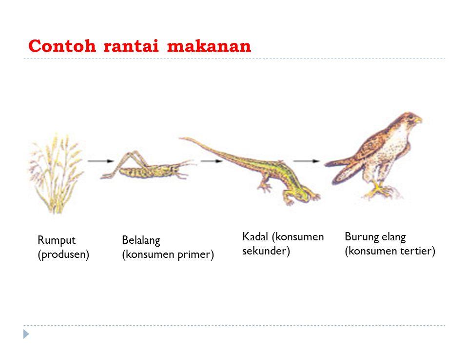 Contoh rantai makanan Kadal (konsumen sekunder) Burung elang