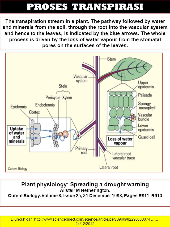 PROSES TRANSPIRASI Plant physiology: Spreading a drought warning